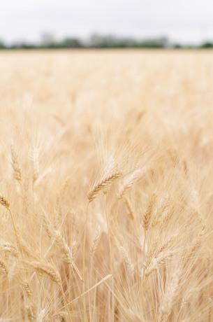 barilla wheat-2